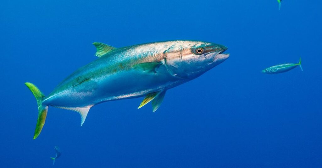 foods that start with x YELLOWTAIL KINGFISH