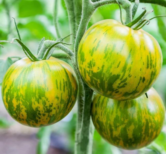 Zebra tomato